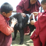 Dasho dog is horned by a yak
