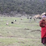 Spring time heralds the arrival of baby yaks